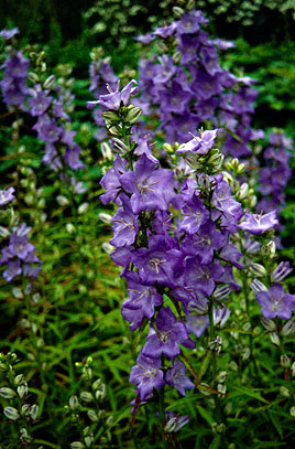 1 x Campanula Percy Piper - 9cm Pot - PRE-ORDER NOW FOR SPRING DELIVERY