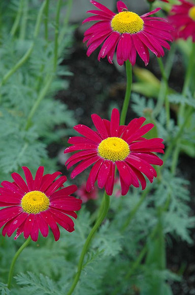 1 x TANACETUM coccineum Robinson's Red (Pyrethrum) - 9cm Pot - PRE-ORDER NOW FOR SPRING DELIVERY