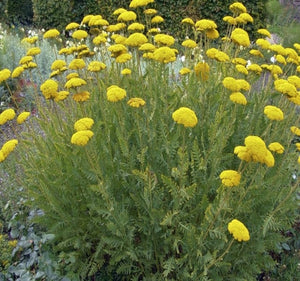 1 x ACHILLEA filipendulina Cloth of Gold - 9cm Pot