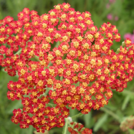1 x Achillea 'Feuerland' - 9cm Pot - PRE-ORDER NOW FOR SPRING DELIVERY