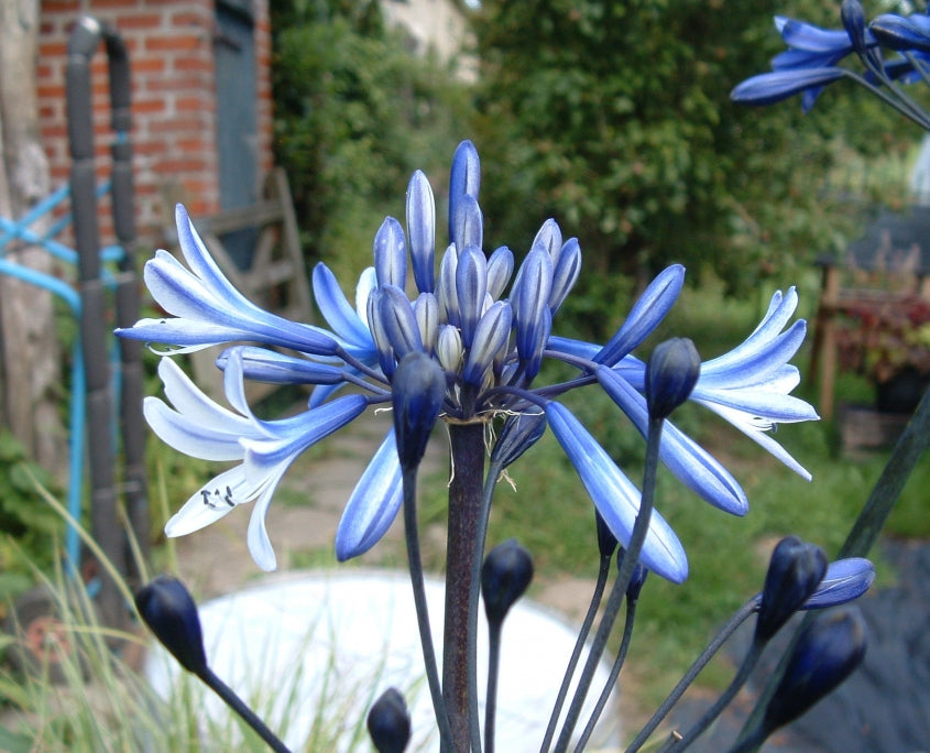 1 x Agapanthus African Queen - 9cm Pot - PRE-ORDER NOW FOR SPRING DELIVERY