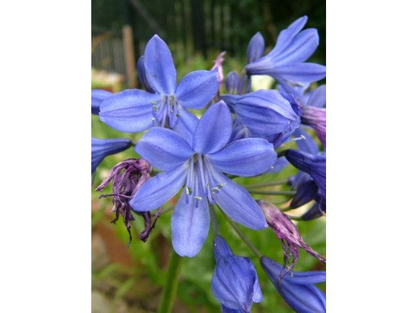 1 x Agapanthus 'Lilliput' - 9cm Pot - PRE-ORDER NOW FOR SPRING DELIVERY