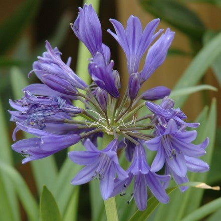 1 x Agapanthus Torbay - 9cm Pot - PRE-ORDER NOW FOR SPRING DELIVERY