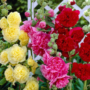 1 x ALCEA (Hollyhock) Chaters Double Mixed - 9cm Pot