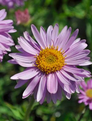 1 x ASTER alpinus Happy End - 9cm Pot - PRE-ORDER NOW FOR SPRING DELIVERY