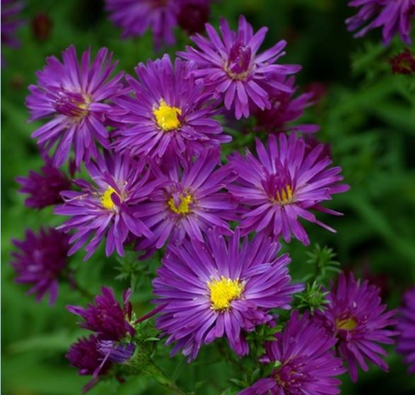 1 x Aster novi-belgii Chequers - 9cm Pot - PRE-ORDER NOW FOR SPRING DELIVERY