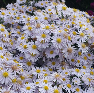 1 x ASTER novi-belgii Snow Cushion - 9cm Pot