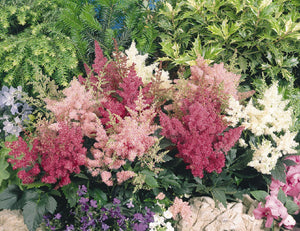 1 x ASTILBE x arendsii mixed -9cm Pot