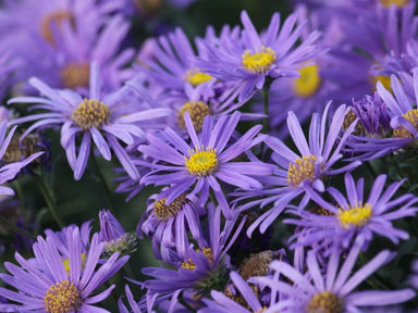 1 x ASTER x frikartii Jungfrau - 9cm Pot - PRE-ORDER NOW FOR SPRING DELIVERY