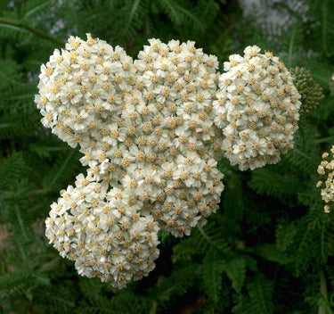 1 x ACHILLEA Desert Eve Cream - 9cm Pot