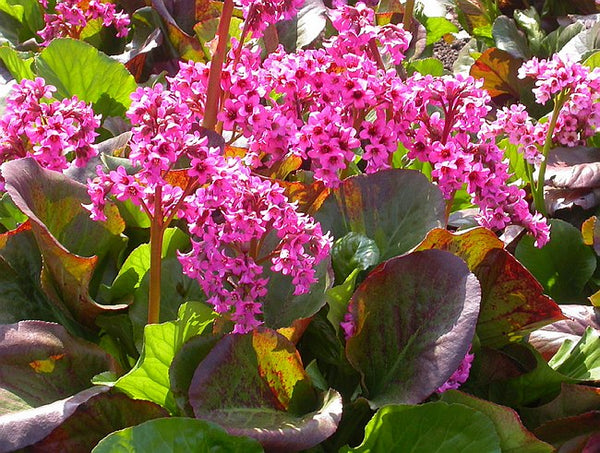 1 x Bergenia 'Sunningdale' - Open Ground Plant - PRE-ORDER NOW FOR SPRING DELIVERY