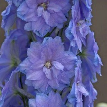 1 x Delphinium Blue Lace - 9cm Pot - PRE-ORDER NOW FOR SPRING DELIVERY