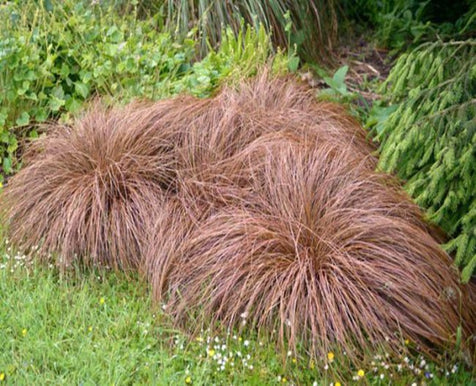 1 x Carex Comans Bronze - 9cm Pot
