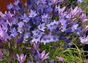 BRODIAEA laxa Queen Fabiola - x 10 Bulbs