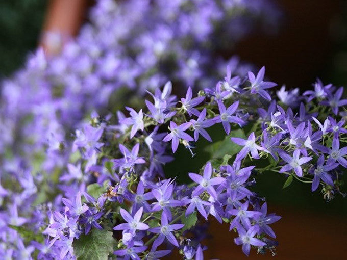1 x CAMPANULA poscharsk. Hirsch Blue - 9cm Pot - PRE-ORDER NOW FOR SPRING DELIVERY