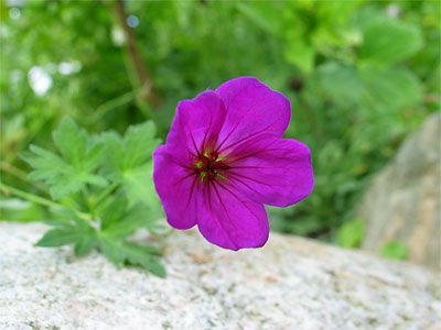 1 x Geranium Little David - 9cm Pot - PRE-ORDER NOW FOR SPRING DELIVERY