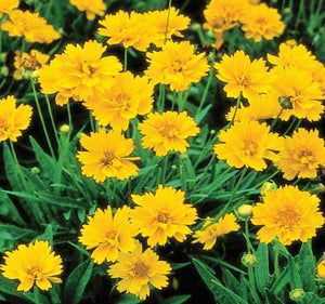 1 x COREOPSIS Early Sunrise - 9cm Pot