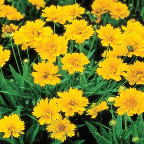 1 x COREOPSIS Early Sunrise - 9cm Pot - PRE-ORDER NOW FOR SPRING DELIVERY