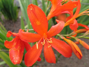 1 x Crocosmia 'Orange Devil' - 9cm Pot