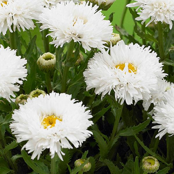 1 x LEUCANTHEMUM maximum Ooh La Lagrande - 9cm Pot
