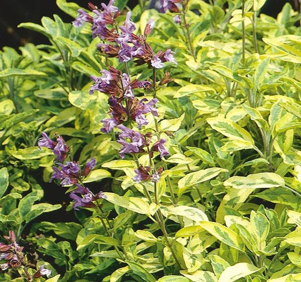 1 x SALVIA officinalis Aurea - 9cm Pot