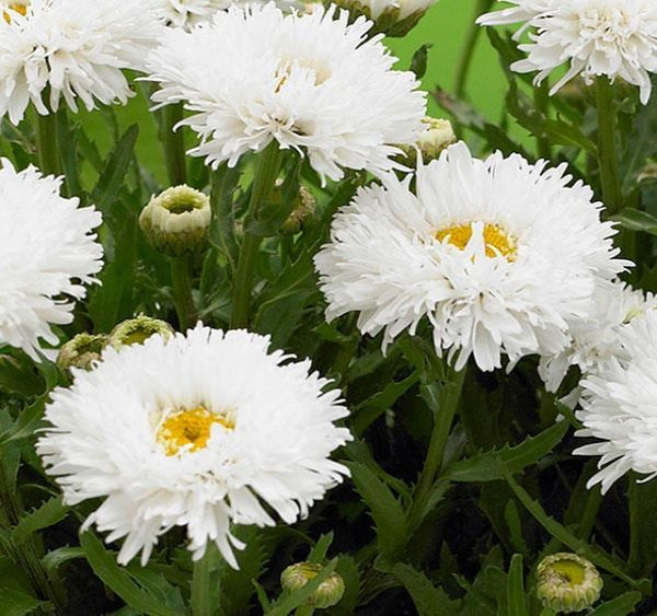 1 x LEUCANTHEMUM maximum Ooh La Laspider - 9cm Pot