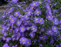 1 x ASTER ericoides Blue Wonder - 9cm Pot