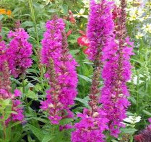 1 x Lythrum salicaria 'Robert' - 9cm Pot