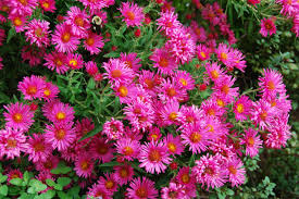 1 x Aster na. 'Alma Potschke' - 9cm Pot - PRE-ORDER NOW FOR SPRING DELIVERY