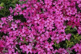 1 x PHLOX subulata Red Wings - 9cm Pot