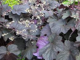 1 x HEUCHERA micrantha Palace Purple - 9cm Pot