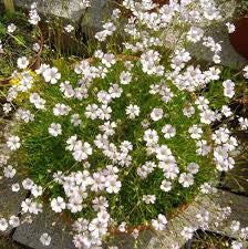 1 x GYPSOPHILA repens Alba - 9cm Pot - PRE-ORDER NOW FOR SPRING DELIVERY