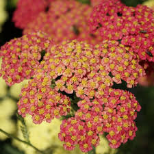 1 x Achillea 'Forncett Fletton' - 9cm Pot - PRE-ORDER NOW FOR SPRING DELIVERY