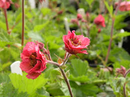 1 x Geum 'Bell Bank' - 9cm Pot