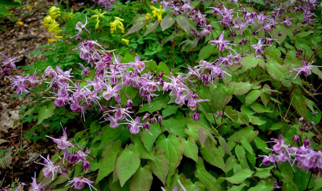1 x Epimedium grand. 'Lilafee'- 9cm pot