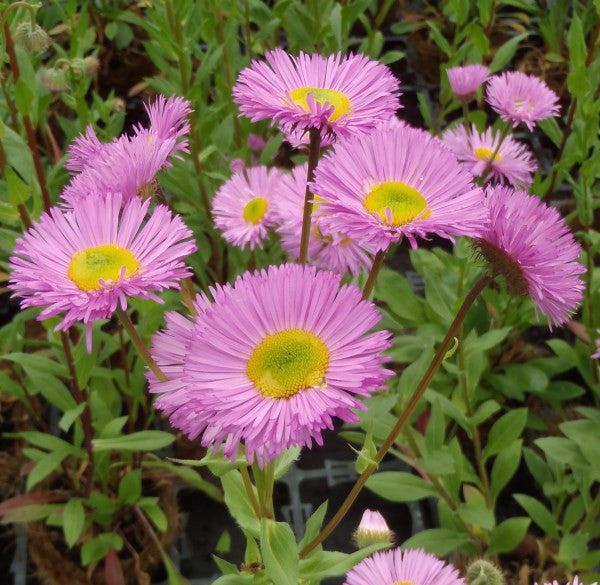 1 x ERIGERON Pink Jewel - 9cm Pot - PRE-ORDER NOW FOR SPRING DELIVERY