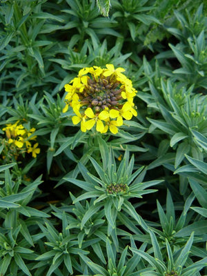 1 x ERYSIMUM Hybridum Yellow Bird - 9cm Pot