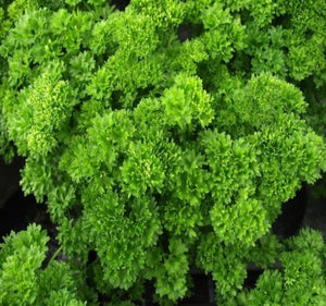 1 x Curled Parsley - 9cm Pot