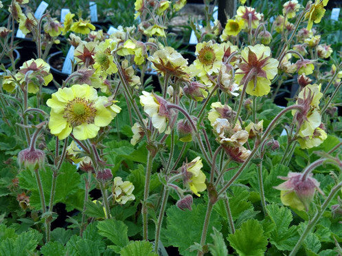 1 x Geum 'Stacey's Sunrise' - 9cm Pot - PRE-ORDER NOW FOR SPRING DELIVERY
