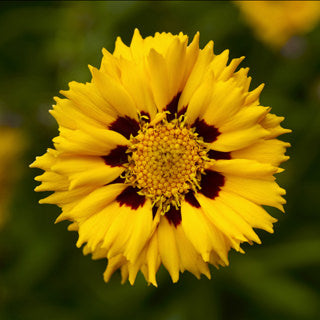 1 x COREOPSIS grandiflora Andiamo Yellow Red - 9cm Pot