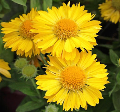 1 x GAILLARDIA Mesa yellow - 9cm Pot