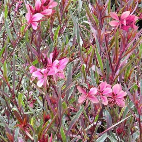1 x GAURA Passionate Rainbow - 9cm Pot - PRE-ORDER NOW FOR SPRING DELIVERY