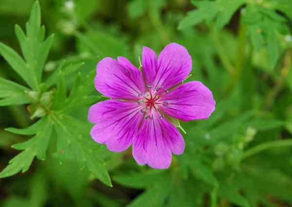 1 x Geranium 'Jean Armour' - 9cm Pot