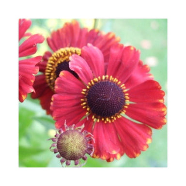 1 x HELENIUM autumnale Red Hybrids - 9cm Pot - PRE-ORDER NOW FOR SPRING DELIVERY