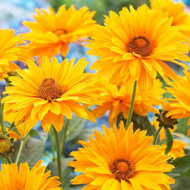 1 x Heliopsis scabra Summer Sun - 9cm Pot - PRE-ORDER NOW FOR SPRING DELIVERY