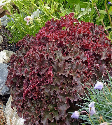 1 x HEUCHERA Melting Fire - 9cm Pot