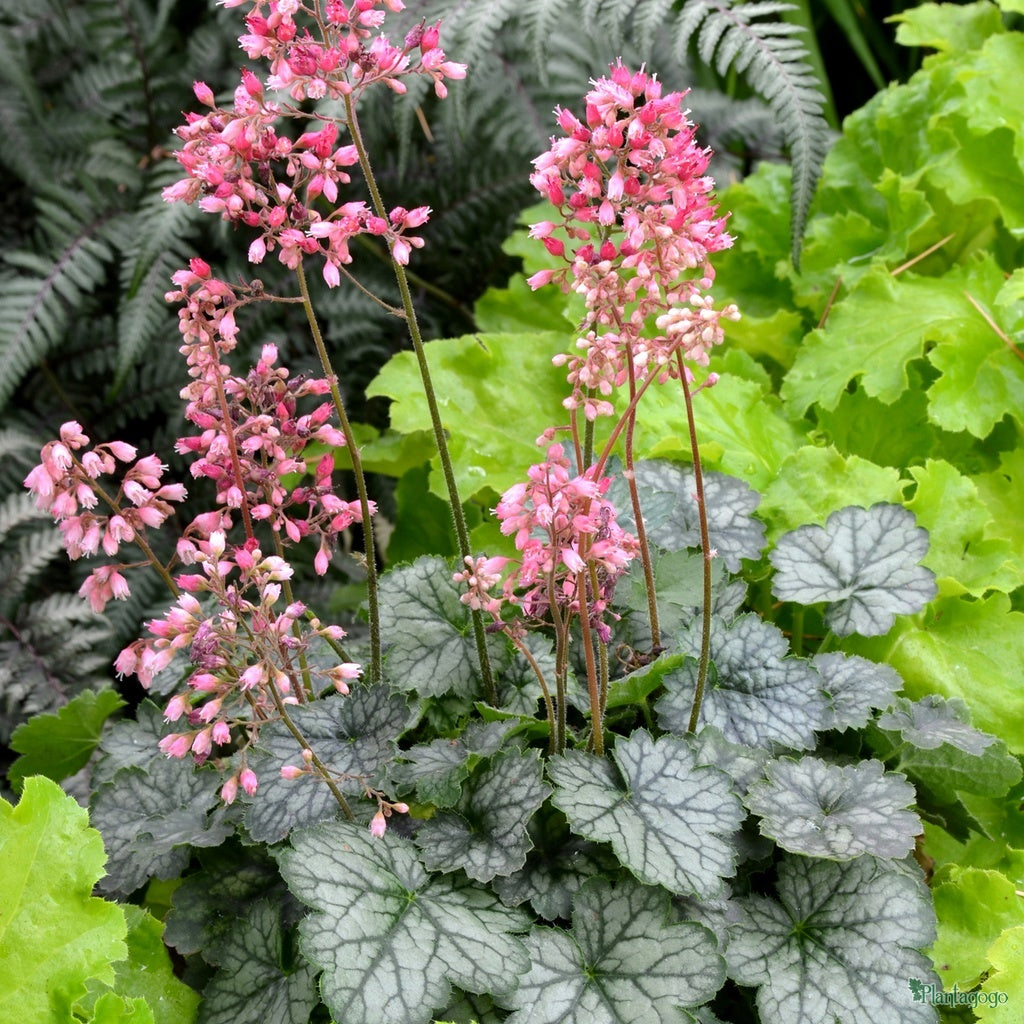 1 x Heuchera Peppermint Spice - 9cm Pot