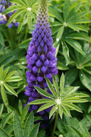 1 x LUPIN Gallery Blue -9cm Pot