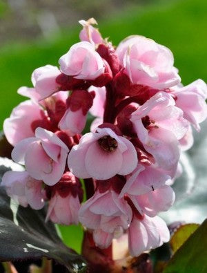 1 x Bergenia 'Bach' -9cm Pot - PRE-ORDER NOW FOR SPRING DELIVERY