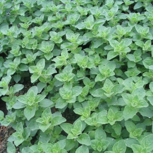 1 x Oregano Hot and Spicy - 9cm Pot